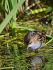 Baillon's Crake - Porzana pusilla (Western Treatment Plant, Vic)