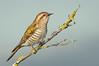 Horsfield's Bronze-cuckoo - Chalcites basalis (Western Treatment Plant, Vic)