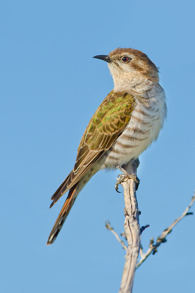 Horsfield's Bronze-cuckoo - Chalcites basalis (Western Treatment Plant, Vic)