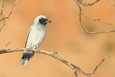 Black-faced Cuckooshrike - Coracina novaehollandiae (Alice Springs, NT)