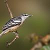 Varied Triller - Lalage leucomela (Julatten, Qld)