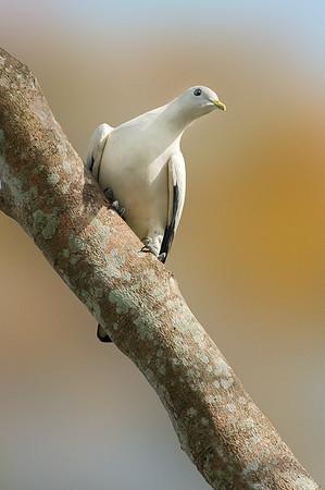 Torresian Imperial-Pigeon - Ducula spilorrhoa (Cairns, Qld)