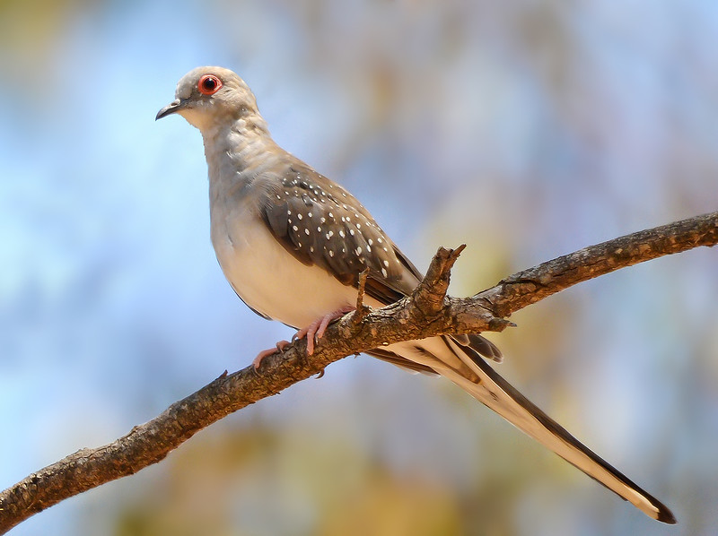 Diamond Dove - Geopelia cuneata (Leaghur SP, Vic)