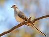 Diamond Dove - Geopelia cuneata (Leaghur SP, Vic)