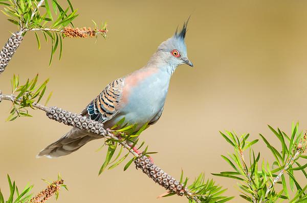Crested Pigeon - Ocyphaps lophotes (Benalla, Victoria)