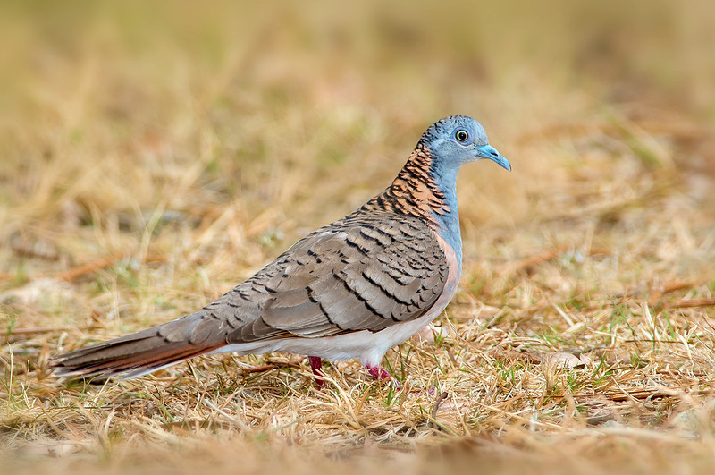 Bar-shouldered Dove - Geopelia humeralis (Cairns, Qld)