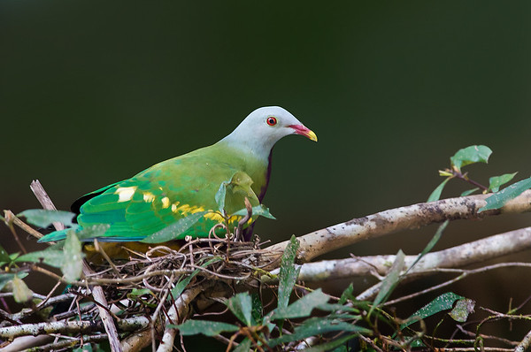 Wompoo Fruit-dove - Ptilinopus magnificus (nesting, Daintree River, Daintree, Qld)