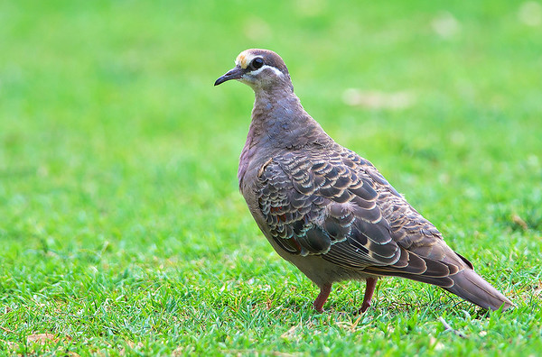 Common Bronzewing - Phaps chalcoptera (Wilson Reserve, Vic)