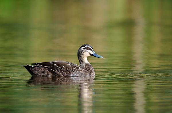 Pacific Black Duck - Anas superciliosa (Koonung Creek Reserve, Vic)