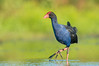 Purple Swamphen - Porphyrio porphyrio (WTP, Vic)
