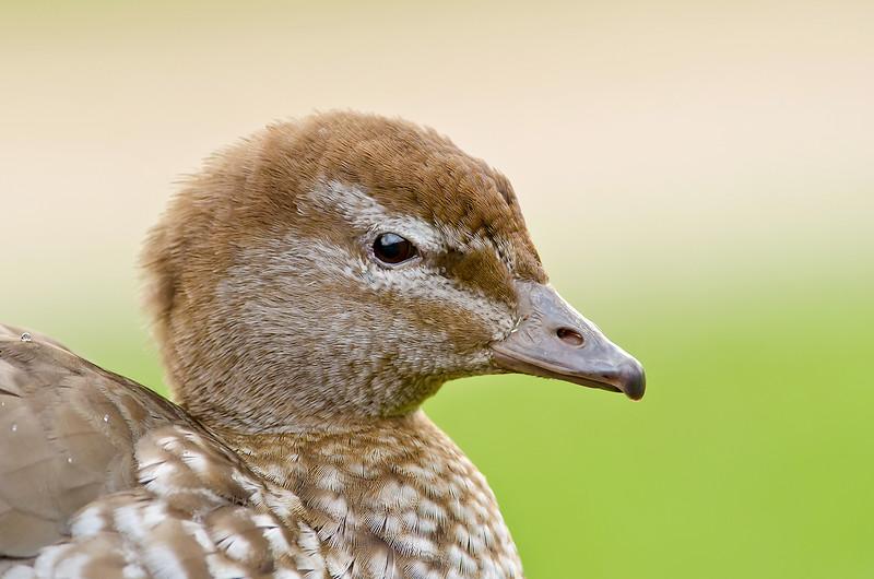 Maned Duck - Chenonetta jubata (f) (Brownhill Creek, South Australia)