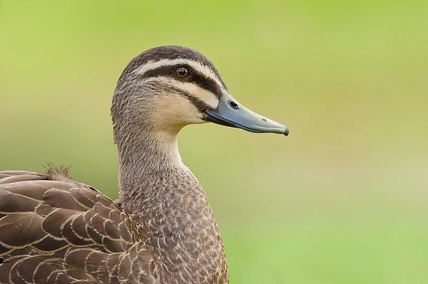 Pacific Black Duck - Anas superciliosa (Brownhill Creek, SA)