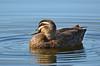Pacific Black Duck - Anas superciliosa (Karkarook Park, Vic)