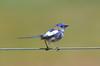 White-winged Fairywren - Malurus leucopterus (Kerang, VIc)