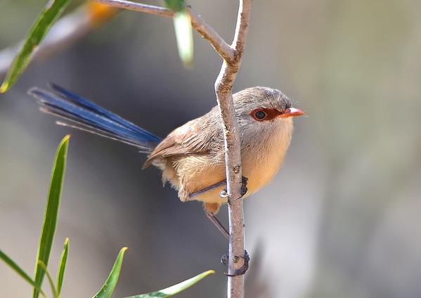 Variegated Fairy-wren - Malurus lambertii (f) (Tresco West, Vic)