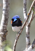 Variegated Fairy-wren - Malurus lambertii (m) (Tresco West, Vic)