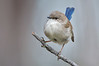 Superb Fairy-wren - Malurus cyaneus - male, eclipse plumage (Bells Beach, Vic)
