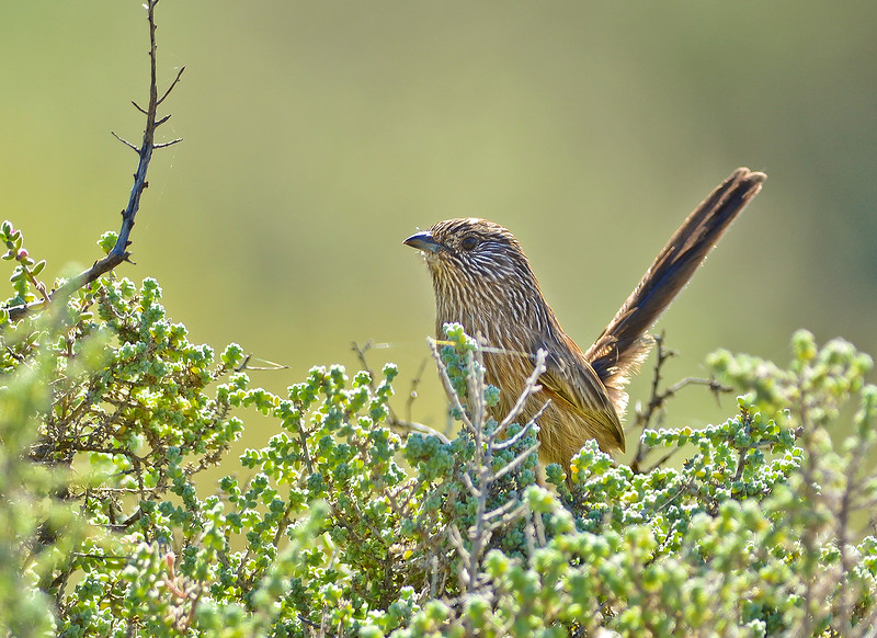 Western Grasswren - Amytornis Textilis myall (Whyalla CP, SA)
