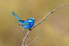 Splendid Fairy Wren - Malurus splendens [race melanotus] (male) (Wyperfeld NP, Vic)
