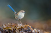 Superb Fairy Wren - Malurus cyaneus (male, eclipse plumage), (Walkerville South, Vic)