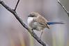 Superb Fairy-wren - Malurus cyaneus - male, eclipse plumage (Bells Beach, Vic)