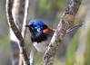 Variegated Fairy-wren - Malurus lambertii (m) (Tresco West, Vic)