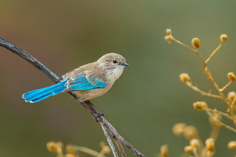 Splendid Fairywren - Malurus splendens (Alice Springs, NT)