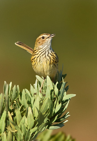 Striated Fieldwren - Calamanthus fuliginosus (Western Treatment Plant, Victoria)