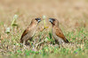 Scaly-breasted Munia - Lonchura punctulata (Clifton Beach, Qld)