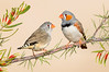 Zebra Finch – Taeniopygia guttata (Coober Pedy, South Australia)