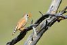 Zebra Finch - Taeniopygia guttata castanotis (f) (Port Augusta, SA)
