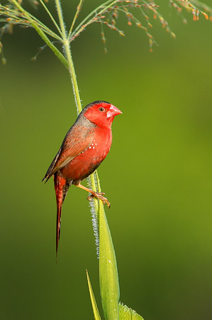 Crimson Finch - Neochmia phaeton (m) (Catanna Wetlands, Cairns, Qld)