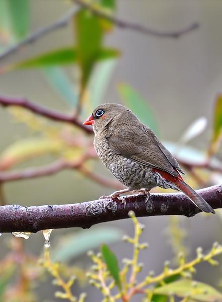 Red-eared Firetail - Stagonopleura oculta (Cheynes Beach, WA)