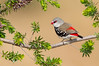 Diamond Firetail - Stagonopleura guttata (Warby Ranges, Vic)