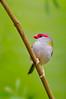 Red-browed Finch - Neochmia temporalis (Upper Sturt, South Australia)