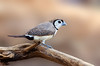 Double-barred Finch - Taeniopygia bichenovii bichenovii - white-rumped race (Boodjamulla [Lawn Hill] NP, Qld)