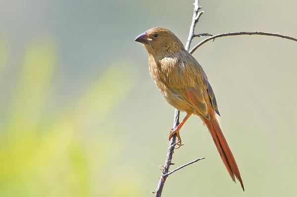 Crimson Finch - Neochmia phaeton phaeton (f juv) Black-bellied race, (Boodjamulla [Lawn Hill] NP, Qld)