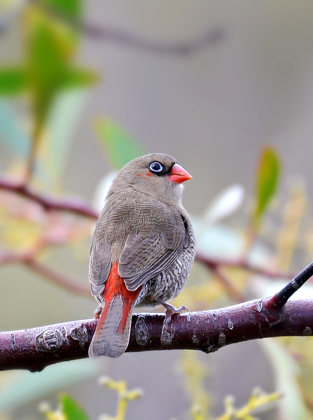 Red-eared Firetail - Stagonopleura oculta (Cheynes Beach, WA)