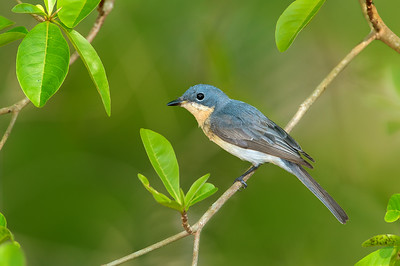 Leaden Flycatcher - Myiagra rubecula  (f) (Catanna Wetlands, Cairns, Qld)