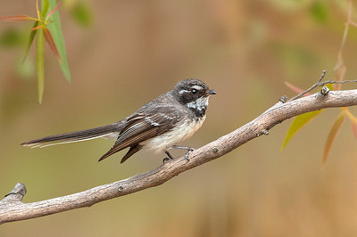 Grey Fantail - Rhipidura albiscapa (You Yangs Regional Park, Vic)