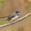 Grey Fantail - Rhipidura albiscapa (You Yangs Regional Park, Vic)