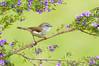 Brown Gerygone - Gerygone mouki (Tathra, NSW)