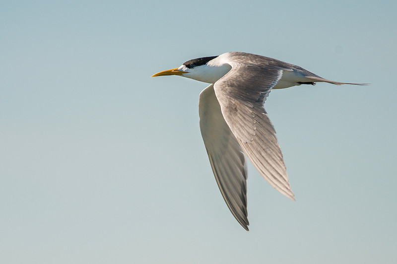 Greater Crested Tern - Thalassues bergii (Western Treatment Plant, Vic)