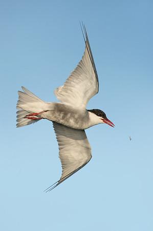Whiskered Tern - Chlidonias hybrida (Western Treatment Plant, Vic)