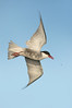 Whiskered Tern - Chlidonias hybrida (Western Treatment Plant, Vic)