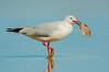 Silver Gull - Chroicocephalus novaehollandiae (Cape Liptrap, Vic)
