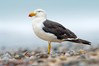 Pacific Gull - Larus pacificus (Walkerville South, Vic)