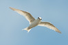 Fairy Tern - Sternula albifrons (Western Treatment Plant, Vic)