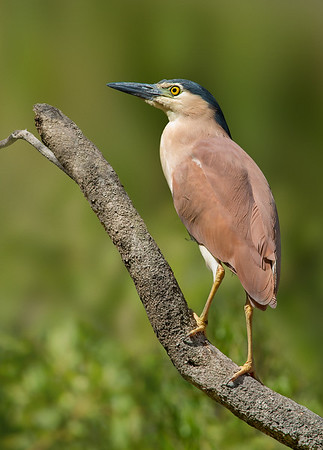 Nankeen Night Heron - Nycticorax caledonicus (Wattle Park, Vic)