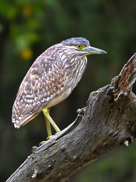 Nankeen Night Heron - Nycticorax caledonicus (juv) (Wilson Reserve, Vic)